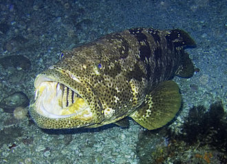 Grouper - Malabar grouper, Epinephelus malabaricus