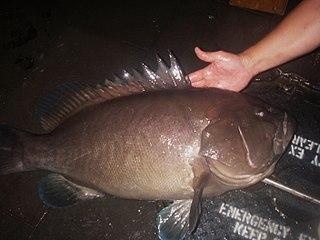 <i>Hyporthodus nigritus</i> Species of fish