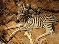 Equus quagga - Finnish Museum of Natural History - DSC04489.JPG