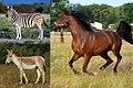 Equus species.jpg
