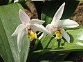 Eria coronaria -昆明金殿植物園 Kunming YuanLin Botanic Gardens, China- (9237478225).jpg