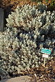 Eriogonum crocatum - San Luis Obispo Botanical Garden - DSC06040.JPG