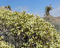 Eriogonum heermannii var sulcatum 16.jpg