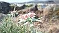 Eriogonum heracleoides var. leucophaeum pre-flowering buds.jpg