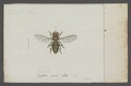 Eristalis - Print - Iconographia Zoologica - Special Collections University of Amsterdam - UBAINV0274 039 02 0017.tif