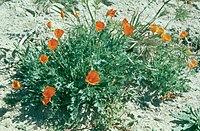 Eschscholzia lemmonii 013