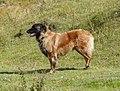 Estrela Mountain Dog, bitch (20249089853).jpg