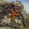 Estrella roja del Mediterráneo (Echinaster sepositus), Parque natural de la Arrábida, Portugal, 2020-07-31, DD 110.jpg