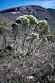 Eucalyptus buprestium habit.jpg