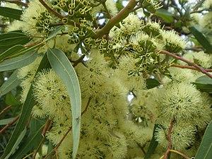 Eucalyptus wandoo - E. wandoo blossom and capsules