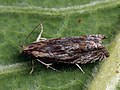 Eucosma cana - Hoary bell - Глазковая листовёртка бодяковая (40564135214).jpg