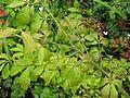 Euonymus alatus nanus - Flickr - peganum (2).jpg