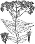 Eupatorium sessilifolium drawing 01.png