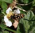 Eupeodes latifasciatus (female) - Flickr - S. Rae.jpg