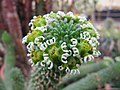 Euphorbia caput-medusae (4256692293).jpg