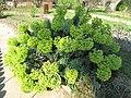 Euphorbia characias (Jardin des Plantes de Paris).jpg