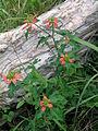 Euphorbia cyathophora plant1 (14756306610).jpg