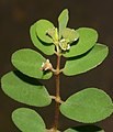 Euphorbia erythroclada Boiss.jpg