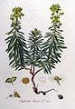 Euphorbia esula — Flora Batava — Volume v9.jpg