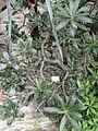 Euphorbia genoudiana - Palmengarten Frankfurt - DSC01660.JPG