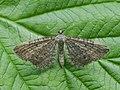 Eupithecia sp. (41351064432).jpg