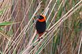 Euplectes orix at Pilanesberg National Park.jpg