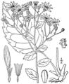 Eurybia macrophylla BB-1913-5.png