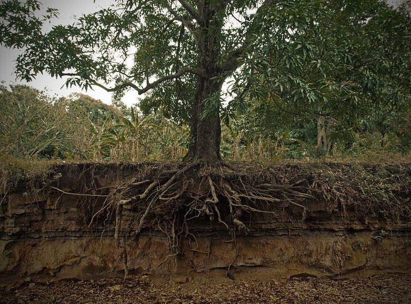 चित्र:Exposed mango tree roots.jpg