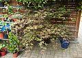 Fächershorn (Acer palmatum) (9476627803).jpg