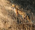 FOX, RED (5-2-07) attascadero waste tx plant, slo co, ca -5 (2365778702).jpg
