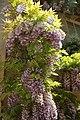 Fabales - Wisteria sinensis - 1.jpg