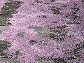 Fallen cherry blossom, Monk's Drive - geograph.org.uk - 1840020.jpg