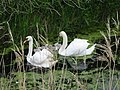Family of Mute Swans - geograph.org.uk - 463400.jpg