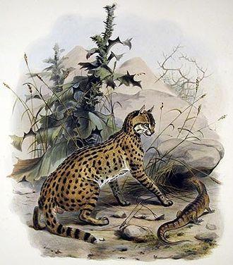 Wildcat - Image: Felis ornata