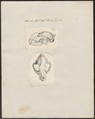 Felis pardus - 1700-1880 - Print - Iconographia Zoologica - Special Collections University of Amsterdam - UBA01 IZ22100131.tif