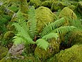 Fern in Wistman's Wood - geograph.org.uk - 145664.jpg