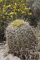 Ferocactus cylindraceus (1).jpg