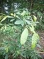 Ficus Glauca.jpg