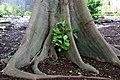 Ficus nymphaeifolia RBGS.jpg