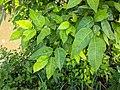 Ficus tinctoria 44.jpg