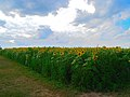 Field of Sunflowers - panoramio (2).jpg