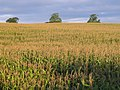 Field of maize near Lostford - geograph.org.uk - 568451.jpg