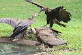 Fighting vultures in Gambia.jpg