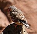 Finch (30241230193).jpg