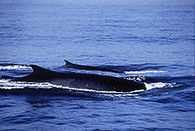 3. Fin whale (120 tons)