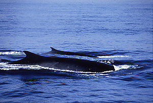 Fin whale - Fin whales often travel in pairs.