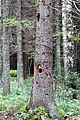 Fir tree by Black Woodpecker 1.jpg
