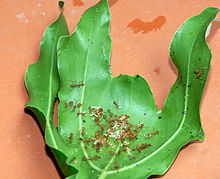 Fire ants and eggs inside leaf nest.jpg