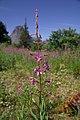 Fireweed (Epilobium angustifolium) and Sinopah Mtn (5635260162).jpg