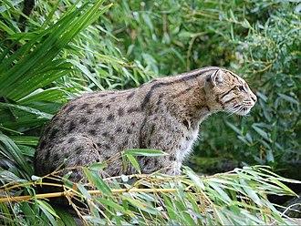 Fishing cat - Fishing cat searching for prey near water